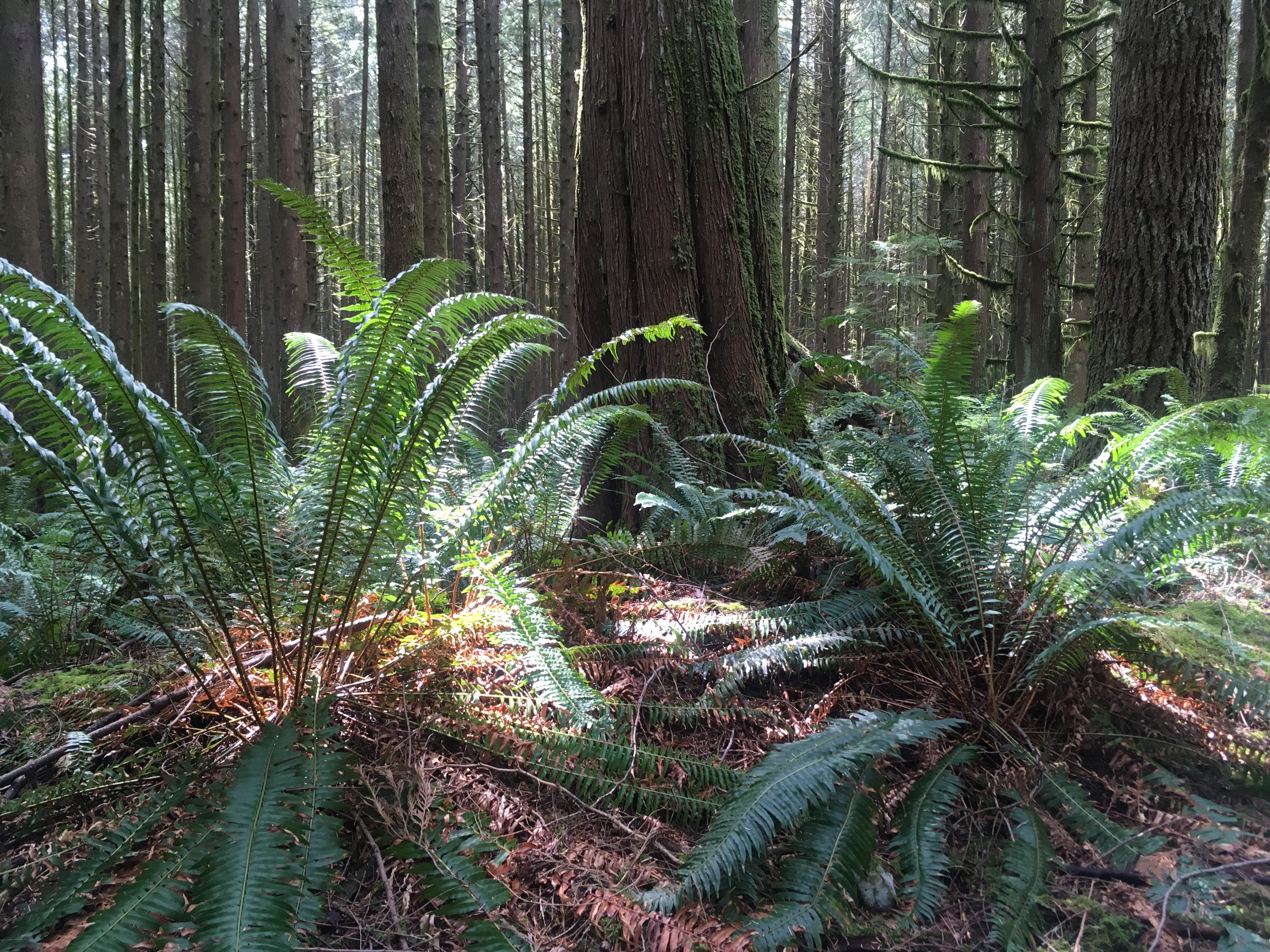 Free the Fern Invasive Removal Zoom Session photo