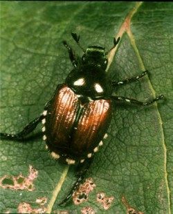 Japanese beetle detected in Vancouver! photo
