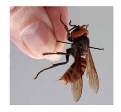Asian Giant Hornet photo