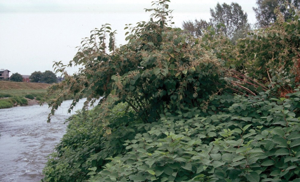 Knotweed (Japanese)