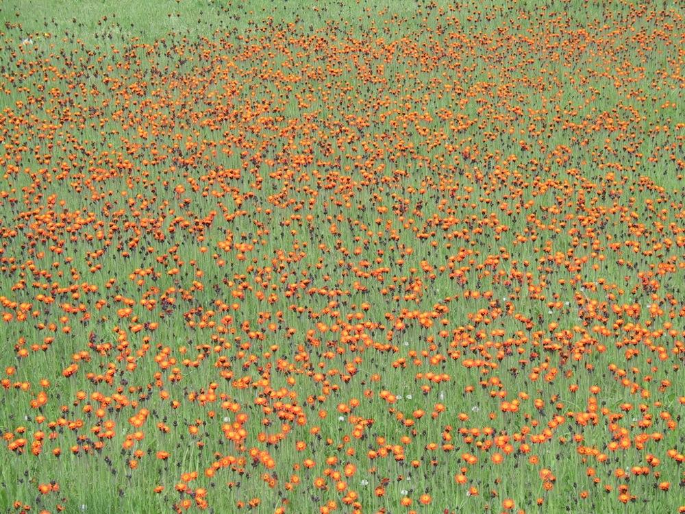 Hawkweed (Orange)